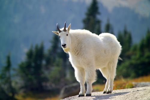 коза кашемир